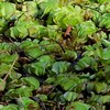 Invasive Salvinia is ready to take over again.