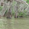 Spanish moss at Alligator Point