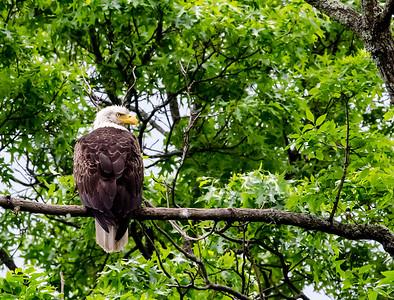 Eagle on Wallkill