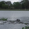 There were a number of young alligators out and about.