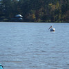 There were a lot of white pelicans out