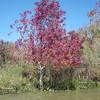 tallow tree