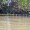 Ducks on the return. On this island we also caught several deer making their escape full speed through the shallow water to the next island.