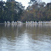 A calm white pelican group