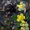 Gelsemiaceae - <br /> Gelsemium sempervirens - Carolina Jessamine