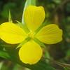 Onagraceae - <br /> Ludwigia alternifolia - Seedbox