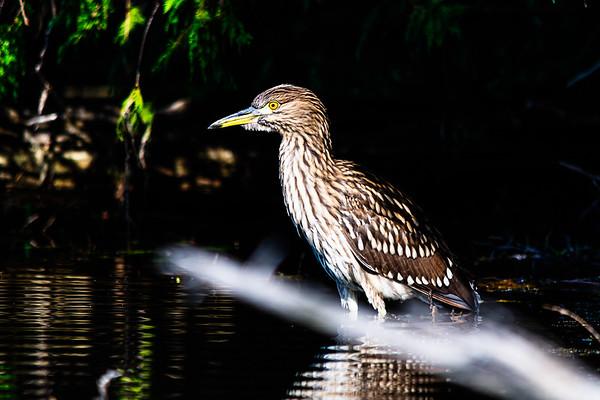 Heron along the shores of Marble Lake