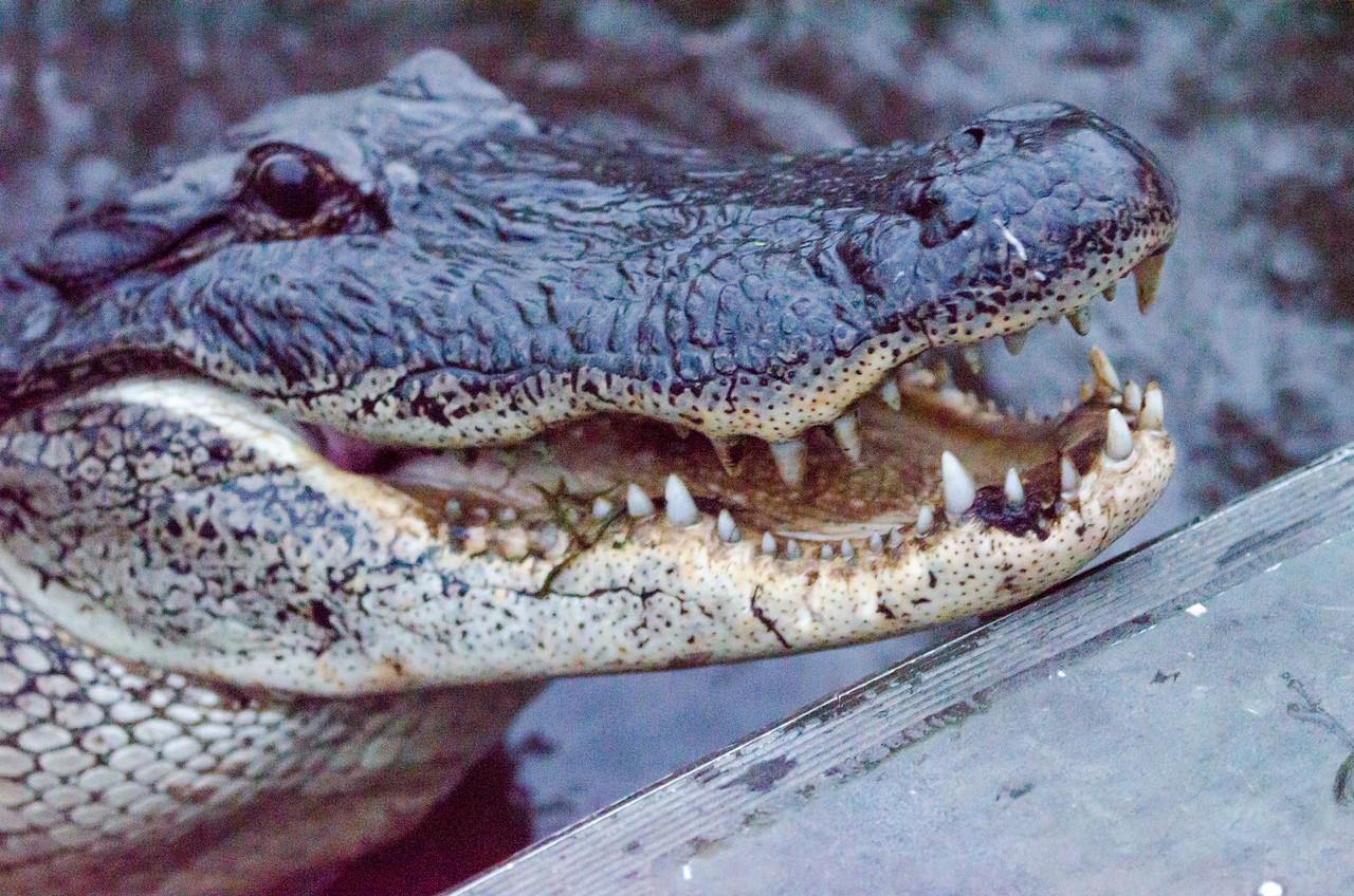 Louisiana gator #1