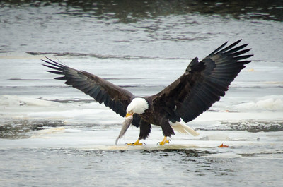 Bald eagle catches a fish on the Mississippi River on the Iowa/Illinois border