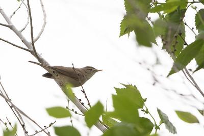 Sykes warbler