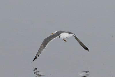 Steppe Gull (barabensis)