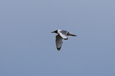 Pallas's Gull (Great Black-Headed Gull)