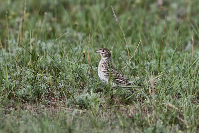 Black Lark female