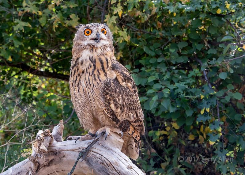 Captive Eurasian eagle owl (Bubo bubo), Sunkar Falcon Center, Almaty, Kazakhstan