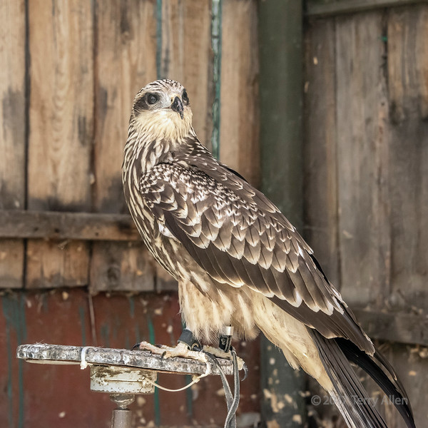 Trained rough-legged hawk (query Buteo lagopus), Sunkar Falcon Center, Almaty, Kazakhstan