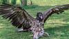 Lammergeir (bearded vulture, Gypaetus barbatus) feeding on bones, Sunkar Falcon Center, Almaty, Kazakhstan