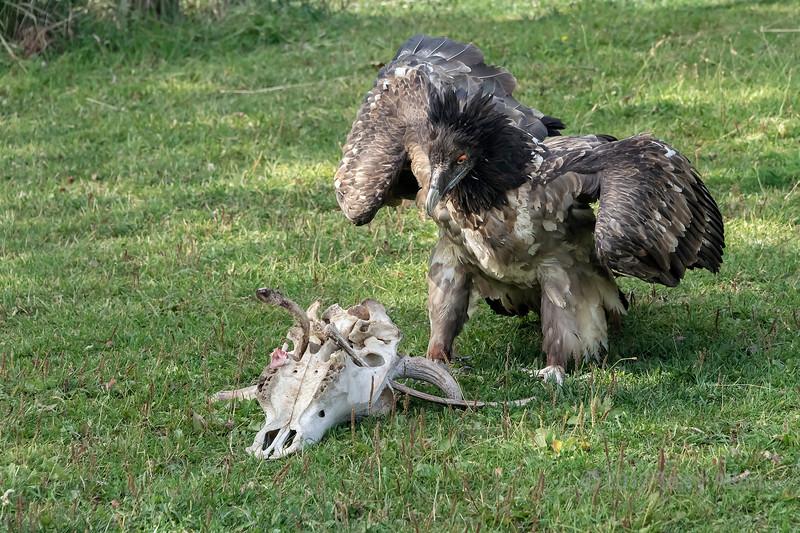 Lammergeir (bearded vulture, Gypaetus barbatus) by a pile of bones, Sunkar Falcon Center, Almaty, Kazakhstan