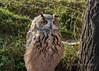 Eurasian eagle owl (Bubo bubo), Almaty, Kazakhstan