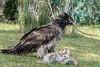 Lammergeir (bearded vulture, Gypaetus barbatus) holding up a rib bone, Sunkar Falcon Center, Almaty, Kazakhstan