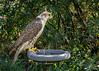 Captive Sakar falcon (query  Falco cherrug), Sunkar Falcon Center, Almaty, Kazakhstan