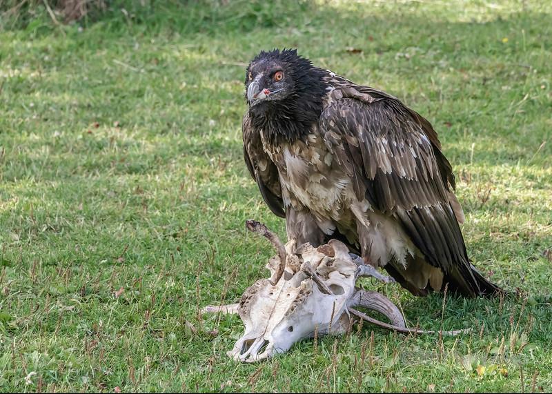 Lammergeir (bearded vulture, Gypaetus barbatus) with a bit of meat in its beak, Sunkar Falcon Center, Almaty, Kazakhstan
