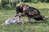 Lammergeir (bearded vulture, Gypaetus barbatus) with a bone in its beak, Sunkar Falcon Center, Almaty, Kazakhstan