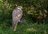 Captive gyr falcon (query), Sunkar Falcon Center, Almaty, Kazakhstan