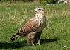 Captive rough-legged hawk (query), Almaty, Kazakhstan
