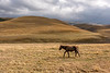 A lone horse walks across the dried grasses high (8000-9000 feet) in the Assy Plateau, Kazakhstan