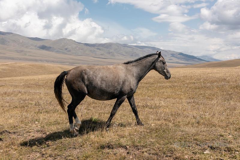 Beautiful brown horse fat from a summer's grazing on the Assy Plateau, Kazkahstan