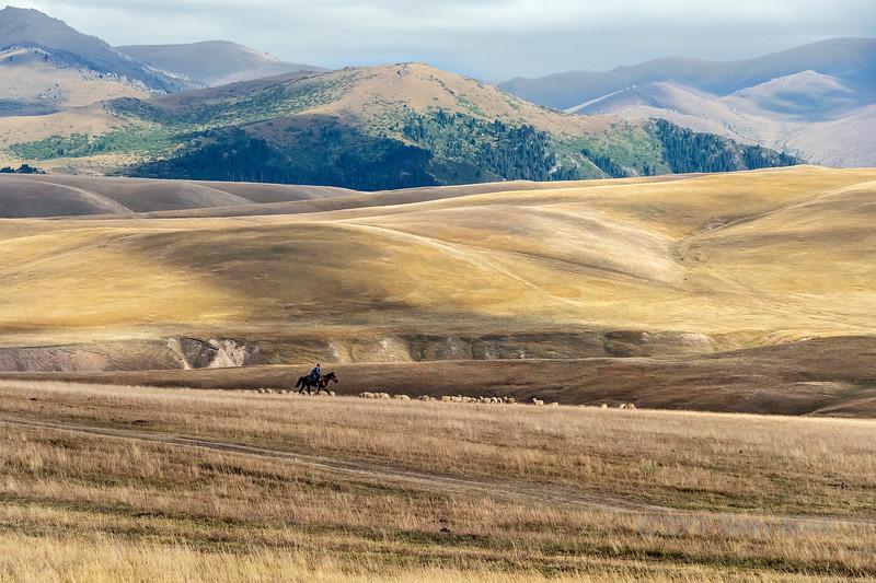 Kazakh horseman with flock of sheep, Assy Plateau, Kazakhstan