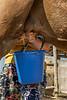 Kazakh woman milking a dromedary camel, near Turkestan, Kazakhstan
