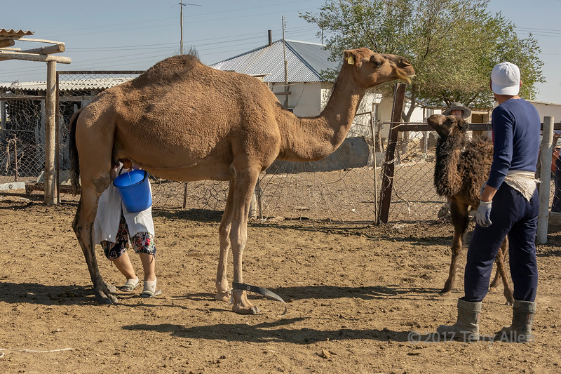 Dromedary being milked while its calf waits its turn to nurse, near Turkestan, Kazakhstan