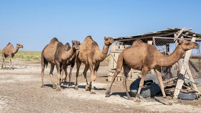 Dromedaries coming into the corral for milking, near Turkestan, Kazakhstan