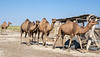 Dromedaries coming into the corral for milking, near Turkestan, Kazakhstan