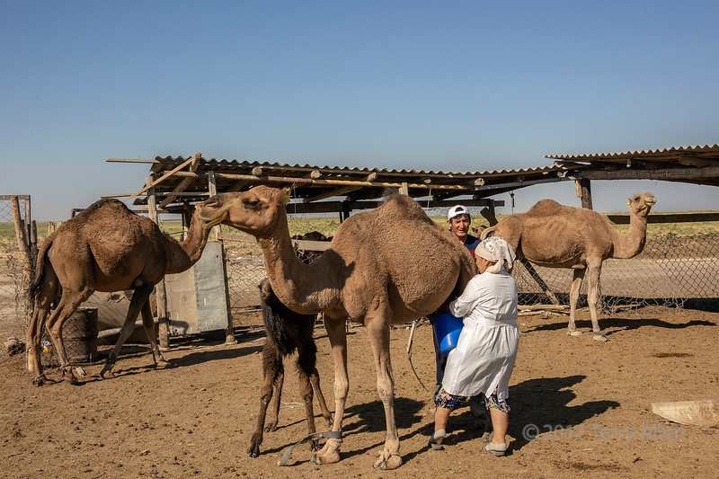 How to milk a camel
