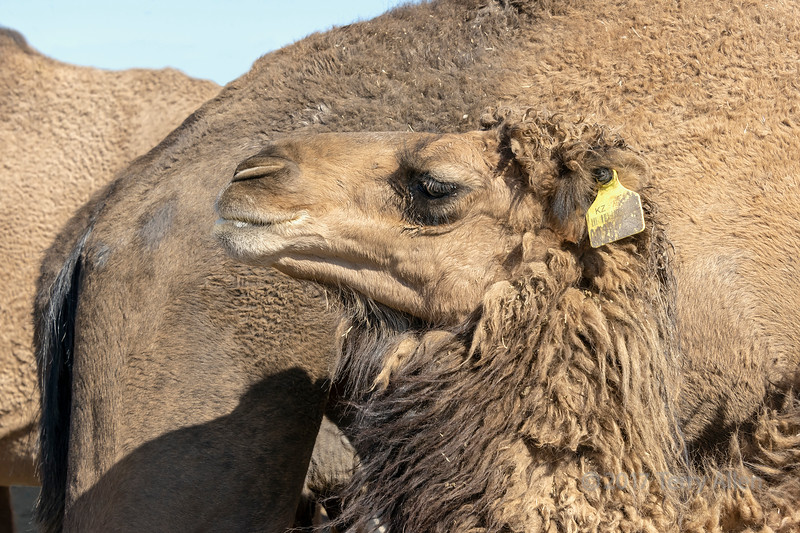 Baby camel just after nursing, near Turkestan, Kazakhstan