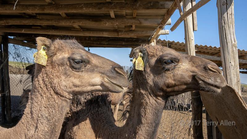 Milk camels