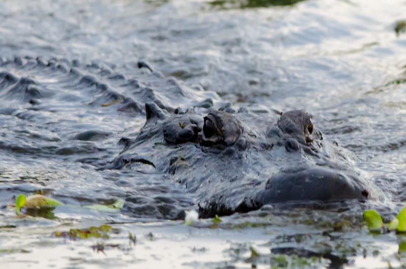 Louisiana gator #3