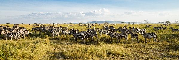 Zebras on the Serengeti