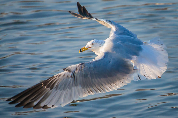 Seagull Flight Over the Water