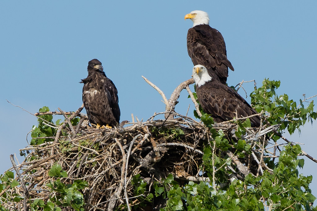 . A juvenile and two mature bald eagles in a nest near Stearns Lake. Photo Courtesy of Dana Bove