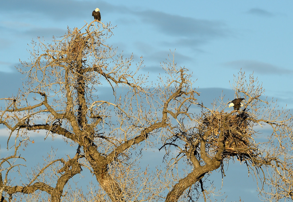 . BROOMFIELD, CO - NOVEMBER 16, 2018: A pair of bald eagles are seen perched in a tree above a nest on Friday in Broomfield. (Photo by Jeremy Papasso/Staff Photographer)