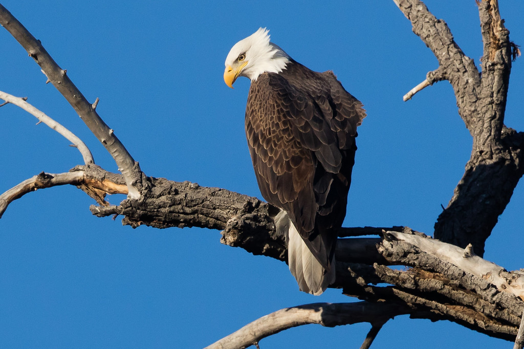 . A female bald eagle looks down from a perch near a nest in the area of Colo. 52 and Weld County Road 5 near Erie. Photo Courtesy of Dana Bove