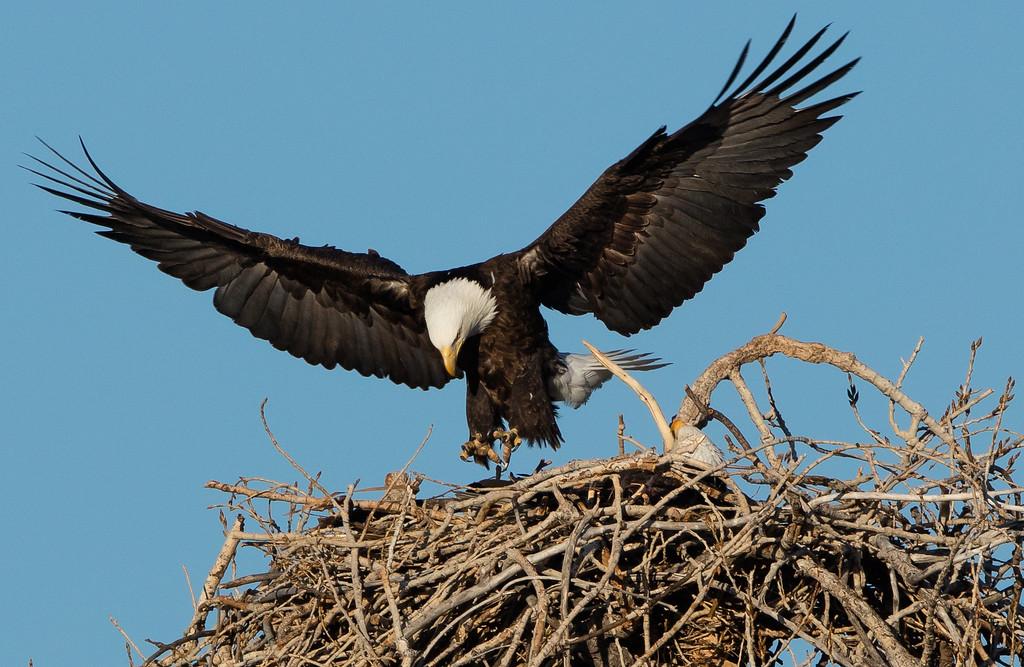 . A bald eagle lands in a nest near Stearns Lake. Photo Courtesy of Dana Bove