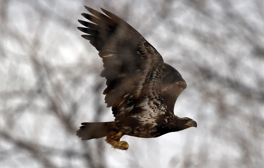 . BROOMFIELD, CO - NOVEMBER 16, 2018: A young bald eagle flies off with the head of a prairie dog in its talons on Friday in Broomfield. (Photo by Jeremy Papasso/Staff Photographer)