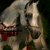 Makhnificent KA : Makhsous x Star Bint Hafiza 1995 Grey Straight Egyptian Stallion Saklawi Jedran Sudan