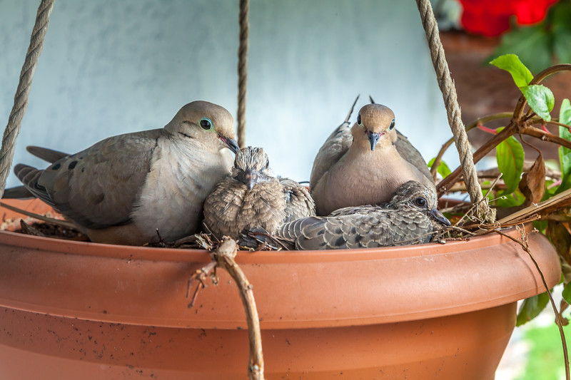 Mourning Dove Family 1