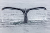 Humpback Whale Tail 1