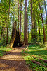 Redwood Trees of Henry Cowell 2